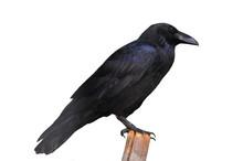 Raven On Log