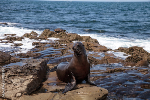 Fototapeta premium California sea lion Zalophus californianus sunning on the rocks