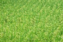 Green Rice Field In Farmland I...