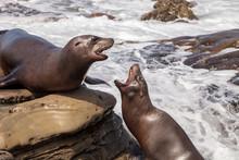 Arguing California Sea Lion Za...