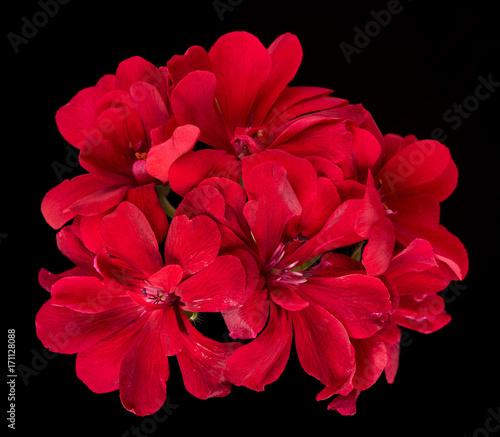 Bright red geranium
