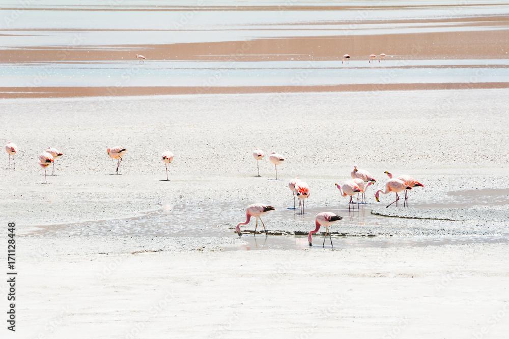 Pink flamingo in the lagoon, Altiplano, Bolivia.