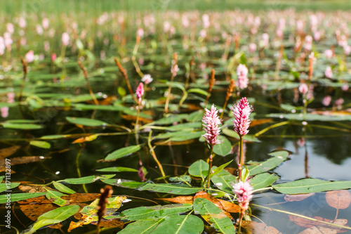 Photo Longroot knotweed (persicaria amphibia) flowers on water surface.