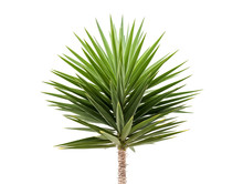 Green Yucca Plant Isolated On ...