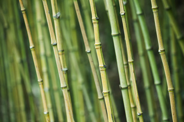 Green bamboo trunks, natural background