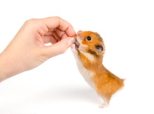 Cute Syrian Hamster Taking A N...