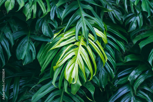 Valokuvatapetti Tropical green leaves on dark background, nature summer forest plant concept
