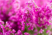 Plant Erica Gracilis.