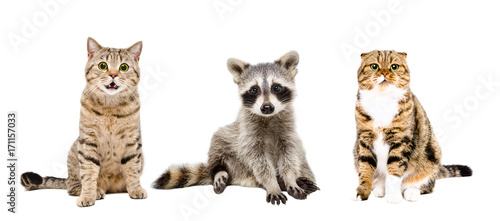 Two cats and raccoon, sitting together, isolated on white