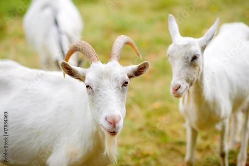 Plakat stado białych kóz pasą się na naturze