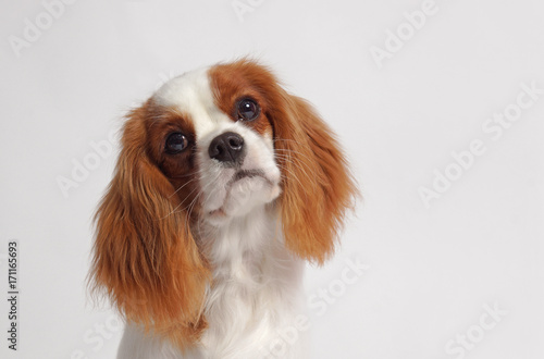 Photo CAVALIER KING CHARLES SPANIEL dog