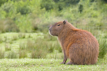 South American Capybara Profile