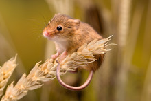 Funny Harvest Mouse