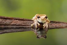 Reflected Amazon Milk Frog On Wood