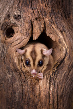 Sugar Glider In Tree