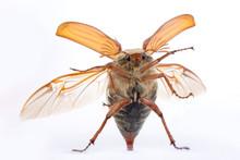 Maybug Feelers
