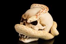 Skull And Snake At Haloween