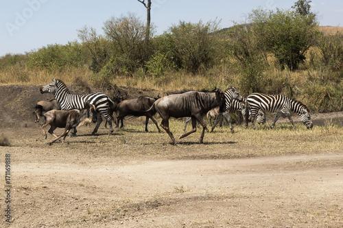 Fotografie, Obraz  gnus in Masai Mara