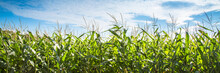 Corn Field Against Blue Sky.