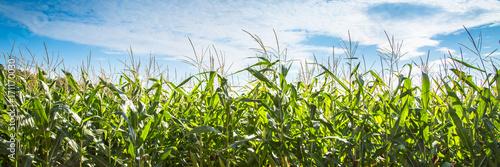 Photo Corn field against blue sky.