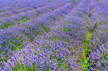 Panel Szklany Lawenda a large field of flowering lavender, a farm for growing herbs
