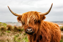 Headshot Of Highland Cattle