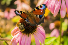 Sonnenhut Pfauenauge Und Biene