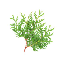 Sprout Of Thuja Or Arborvitae ...