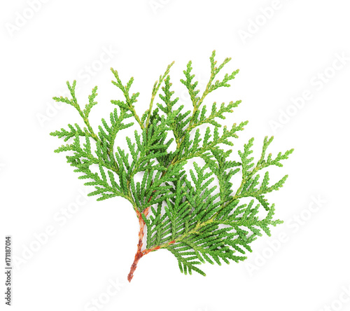Sprout of thuja or arborvitae isolated on white background. Wall mural