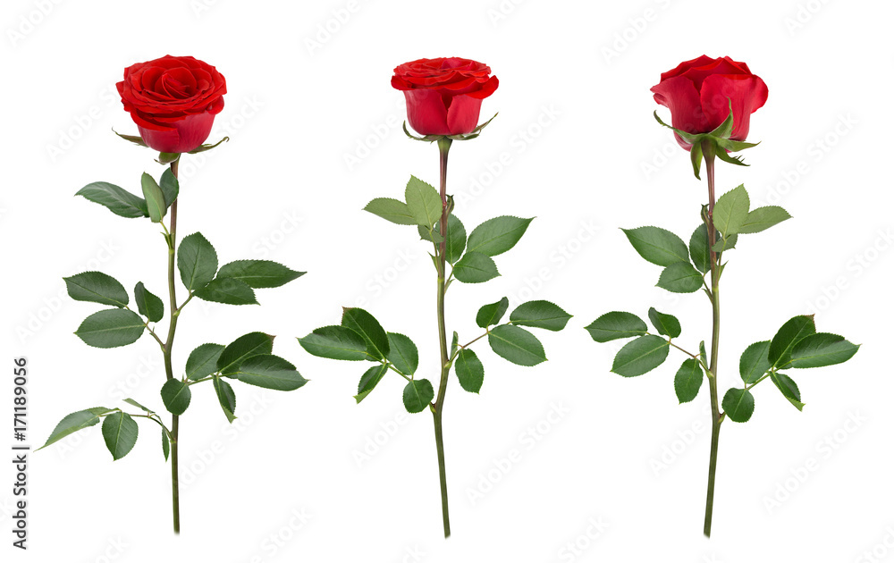 Fototapeta Set with red roses. As design elements.