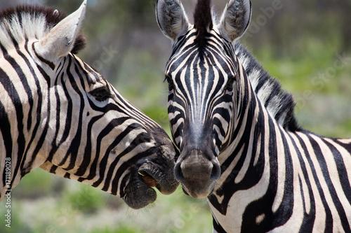 Zdjęcie XXL Zebry w Etosha Namibia