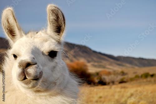 Staande foto Lama Patagonian Llama