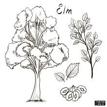 Sketch Of An Elm