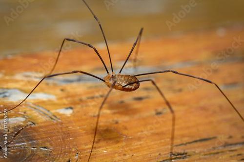 Weberknecht auf Holz, Spinne, Natur