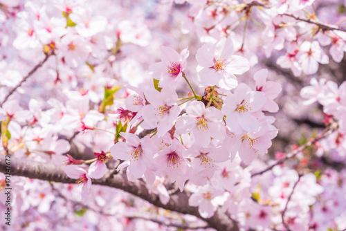 Deurstickers Kersen 満開の桜