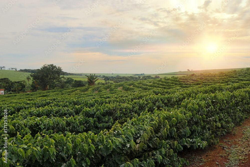Fototapety, obrazy: Plantation - Sundown on the coffee plantation landscape