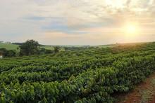Plantation - Sundown On The Coffee Plantation Landscape