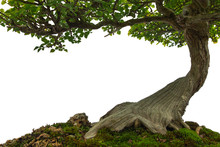 Tree Trunk On Moss Covered Ground, Miniature Bonsai Tree On White Background.