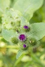 Arctium - Flower Of Thistle Pi...