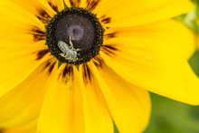 A Bee On A Flowering Arnica.