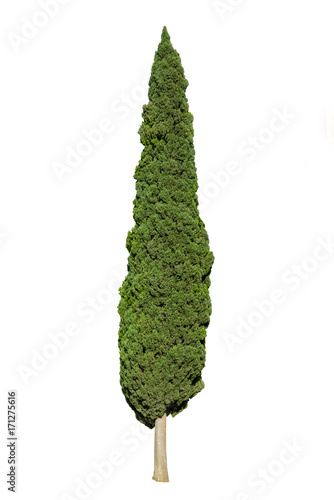 Fotografiet Cypress tree isolated on white background