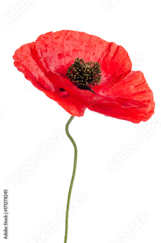 Poster Poppy Single poppy isolated on white background.