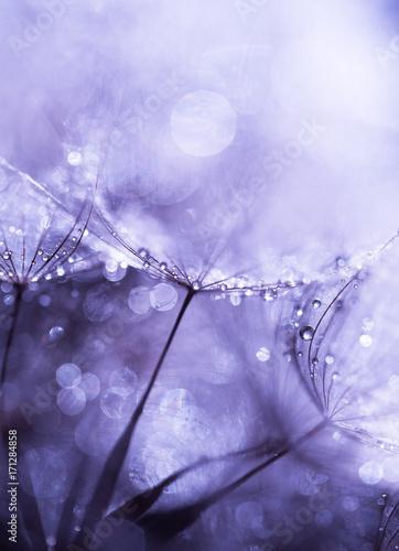 krople-deszczu-uwiezione-przez-nasiona-mniszka-lekarskiego