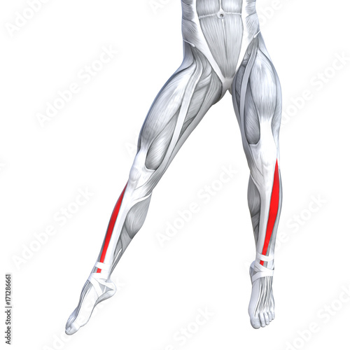 Concept Conceptual 3d Illustration Fit Strong Front Lower Leg Human Anatomy Anatomical Muscle Isolated White Background For Body Medical Health Tendon Foot And Biological Gym Fitness Muscular System Buy This Stock
