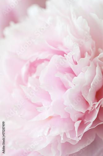 Fototapeta beautiful pink peony flower background obraz na płótnie