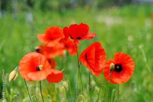 Fotobehang Klaprozen The red blooming poppy
