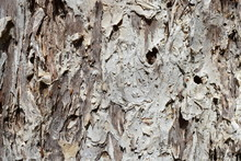 Texture Of A Paperbark Tree