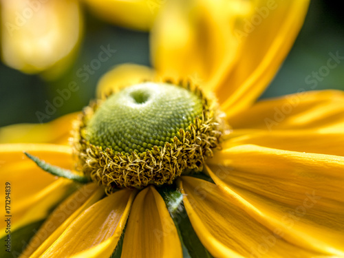 Daisy, yellow single Canvas Print