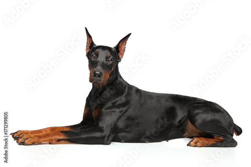 Photo Doberman graceful lying