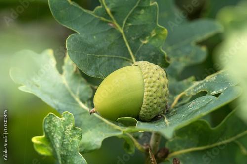 Photo Green acorn or beechnut growing in oak tree